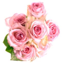 Roze rozen met grote knop