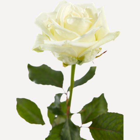 Witte roos met grote knop